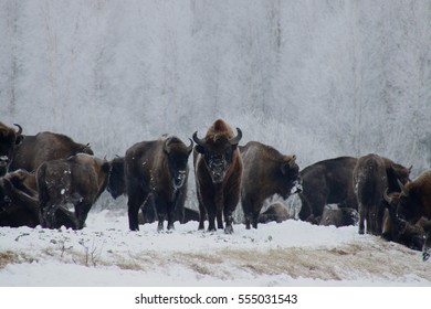 Bison bonasus - winter