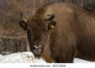 Bison bonasus winter in Carpathians