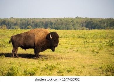 Bison, Buffalo in Elk Island, National Park, Alberta, Canada