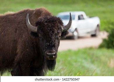 A bison or buffalo looks curiously at visitors on the edge of a dirt road with a truck in the background.