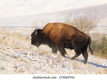 A bison bull grazes on dry grass as he marches up a snowy slope in Montana.