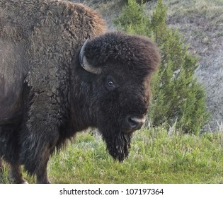 Bison Bull is just one of many Bison making their home in the Theodore Roosevelt National Park, North Dakota.
