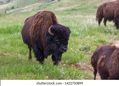 A bison bull with a large black fur covered head and curved horns standing on a hill looking ominous.