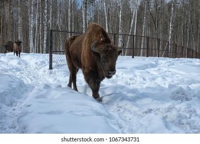 Bison in a cage. Ryazan region