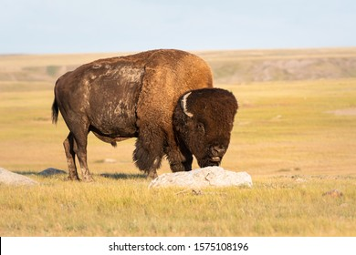 Bison in the Canadian prairies