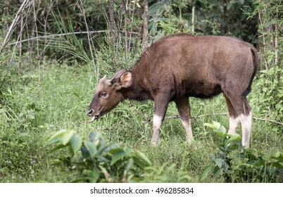 Bison, central India