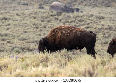 bison change the fur in Yellowstone National Park in Wyoming