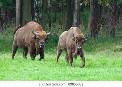 bison couple
