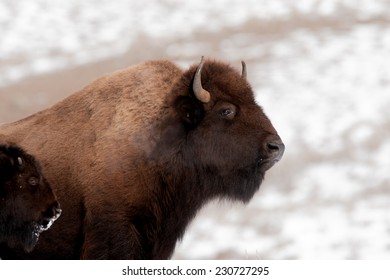 Bison cow and calf in cold winter weather in Yellowstone National Park, breath showing because of cold tempuratures