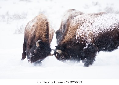 Bison during winter in Yellowstone play-fighting.