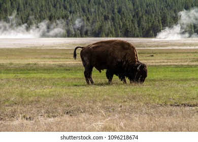 Bison eating grass at Yellowstone National Park