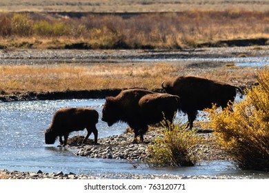 Bison family crossing river in Lamar Valley, Yellowstone National Park