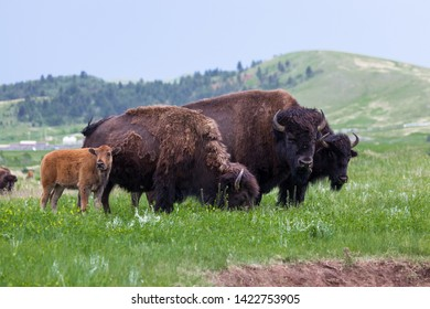 A bison family stands in a row with this years baby next to mom who is grazing and dad standing in the middle with last years baby on the far end.