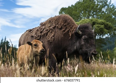 Bison father with a young Bison calf.