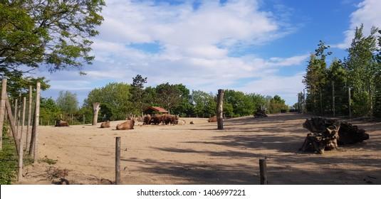 Bison in a field north america icon