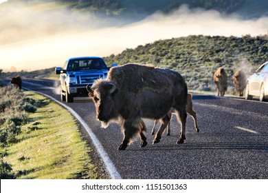 Bison frequently walk along the streets in Yellowstone National Park causing a traffic jam.