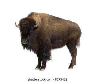 Bison in front of a white background