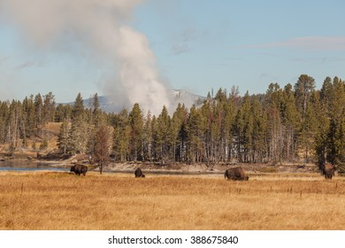 Bison and Geysers in Yellowstone N.P. Wyoming