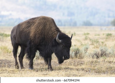 Bison in grass meadow