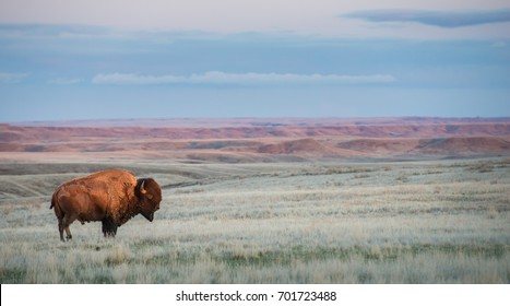 Bison in Grasslands