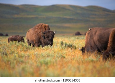 bison in grasslands of Yellowstone National Park in Wyoming in the United States of America