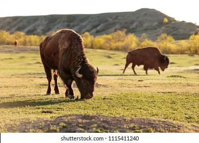 Bison graze in Theodore Roosevelt National Park