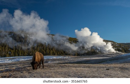 a bison grazes near the steaming old faithful geyser in yellowstone national park