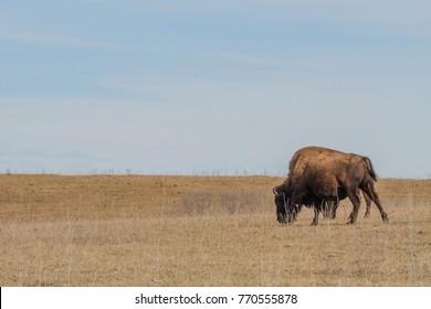 Bison Grazing, Conservation Tallgrass Prairie National Preserve, Pawhuska, Oklahoma, USA