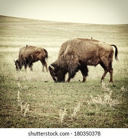 Bison grazing. Processed to look like an old 19th century image of the