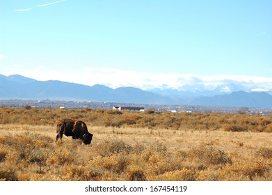 Bison Grazing with Rocky Mountain Backdrop