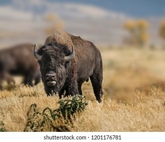 Bison grazing in the tall meadow grass