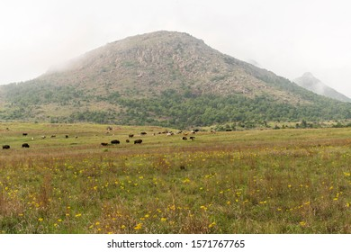 Bison grazing at The Wichita Mountains National Wildlife Refuge.