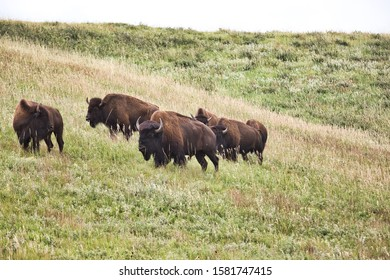 Bison group in Custer State Park