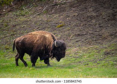 bison (Bison bison), Hayden Valley,