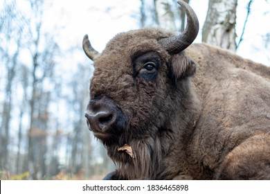 Bison head close-up. Large male bison in the autumn forest. A brown bison lies on the ground among fallen oak leaves. Bison portrait in the wild.