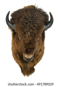 Bison head isolated on a white background. Furry buffalo trophy hanging on the wall.