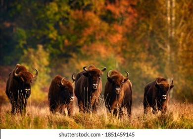 Bison herd in the autumn forest, sunny scene with big brown animal in the nature habitat, yellow leaves on the trees, Bialowieza NP, Poland. Wildlife scene from nature. Big brown European bison. - Shutterstock ID 1851459145