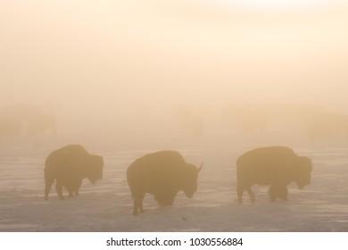 Bison herd in the fog
