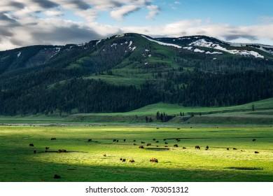 Bison Herd Grazing Below the Mountain