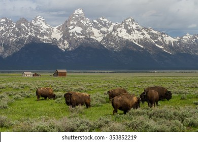 bison herd grazing in big green field with western homestead barns and wyoming teton mountains