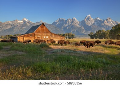 Bison herd passing by the Moulton Barn, Grand Teton National Park