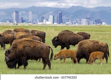 Bison herd at Rocky Mountain Arsenal National Wildlife Refuge, near Denver - mothers and calves with Denver skyline in background.