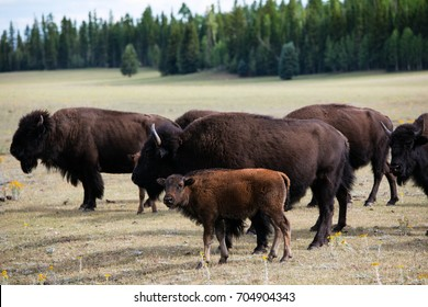 Bison herd in the Yellowstone Park