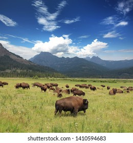 Bison Herd in the Yellowtone National Park