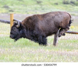 Bison Hoofing It Over A Fence!