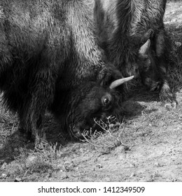 Bison Locking Horns and Fighting