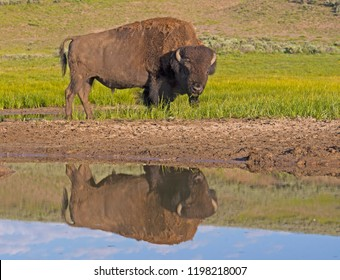 Bison looks at himself in a clear blue lake.