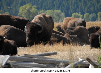 Bison at Mormon Row in Grand Teton National Park
