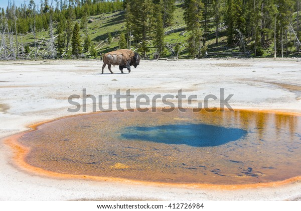 Bison Near Old Faithful Geyser Yellowstone Royalty Free