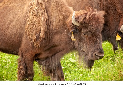Bison on the grass in a farm